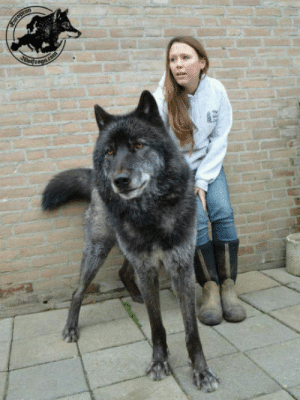 Bad, One, and This: This is a wolfdog and I want one so bad