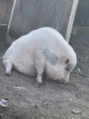 Abraham, Happy, and Back: This is Abraham. He broke his back a couple years ago, but that doesn't stop him from exploring the backyard any chance he gets. He can move around surprisingly well and is a very happy piggy.