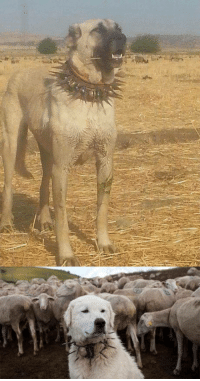 Wolf, Wolves, and Fight: This is an Anti Wolf Heck Collar. The purpose of the collar is to protect the dog wearing it when and if it has to fight wolves. The collar base protects the dogs throat and carotid arteries, while the spikes are intended to deter bites to the neck or even injure wolves trying t