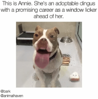 Tag someone who needs this dingus in their life. Adoptable from @animalhaven showmeyourdingus adoptdontshop Vid via @christinacristina: This is Annie. She's an adoptable dingus  with a promising career as a window licker  ahead of her.  @bark  @anima haven Tag someone who needs this dingus in their life. Adoptable from @animalhaven showmeyourdingus adoptdontshop Vid via @christinacristina