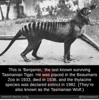 http://mashable.com/2016/08/28/the-last-thylacine/#nlqNt2lJoqqo: This is 'Benjamin,' the last known surviving  Tasmanian Tiger. He was placed in the Beaumaris  Zoo in 1933, died in 1936, and the thylacine  species was declared extinct in 1982. (They're  also known as the Tasmanian Wolf.)  weird-facts.org  @facts weird http://mashable.com/2016/08/28/the-last-thylacine/#nlqNt2lJoqqo