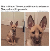 "A Dream, Apple, and Big Sean: This is Blade. The vet said Blade is a German  Shepard and Coyote mix  Pic: reddit u/meganfoxpoops  @DrSmashlove Now look bruv on principle I'm never gon block a brother from getting his bread by means of gainful employment. I love seeing my brothers shining. However I'm also gon express my opinions without constraint and anyone could get this work 🤗😂. With that said, I have detailed on the pages of this account the musicians I love. Future. PNB. A Boogie. 21. H.E.R. Tiller. U feel me? Thugger. Dolph. Brent Faiyaz. DVSN. Party. 6lack. But I have steadfastly roasted one artist even as he grew to heights that quite honestly baffled me. I told a story of talking music with a ting and she liked old boy and knowing right then that it was doomed 🙂. A dude who has been wack to me since Day 1 and it took for him to release an album produced entirely by Young Metro (the GOAT) to make y'all wake up and realize this man is a walking, breathing trash dumpster 😂. That brother right there is Big Sean or, as I call him, Smedium Sean. Now I'm not gon add to the flames of the fire that has grown on social media roasting this poor soul. Imma just drop a few quotes from his new album and let y'all judge: ""What goes around comes around faster than fidgets."" ☹️. ""Ye found a pro, so I guess that means I'm profound."" 😥. ""My step brother used to flip them bags outside the crib like it was trash day...no Kim K, but he bagged Ye."" 😰. ""I had a dream I rode with Rosa Parks..."" Do it. Redeem yourself, brother. In this era where Colin has awakened a nation, talk yo sh!t young Lion! ✊ ""I had a dream I rode with Rosa Parks in the back of the 'bach...and we was blowing a blunt...and she was packing a strap."" 🤓🔫 DELETE THIS ALBUM OFF APPLE MUSIC-SPOTIFY LIL BRO AND HIRE DRAKE'S GHOST WRITER - THIS IS NOT WHAT YOU WANT YOUR LEGACY TO BE - YOU CAN SAVE THIS TRAIN WRECK - BUT ONLY IF U ACT FAST - IF U TAKE A 18 MONTH BREAK FROM MUSIC U STILL HAVE A CHANCE TO COME BACK AS A CHRISTIAN GOSPEL RAPPER LIKE MASE BUT EVEN THAT WINDOW IS CLOSING ... ACTUALLY PLEASE DON'T ... IF I HEAR U SAY ""I had a dream I was on a yacht with Jesus - Brown girls yellow girls in the mix like Reese's Pieces"" SOMEONE MIGHT ASSASSINATE U BRUV ... JUST TAKE A OATH OF SILENCE AND LET JENIH AKIKO DO THE MUSIC ... BLESS UP 🙌😂😂😂"