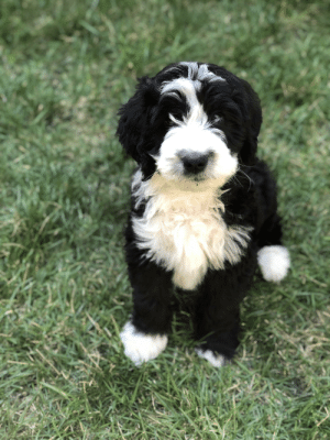 Family, Boba Fett, and Old: This is Boba Fett (aka, Bo) the 8-week-old Bernedoodle. Our family is finally complete.