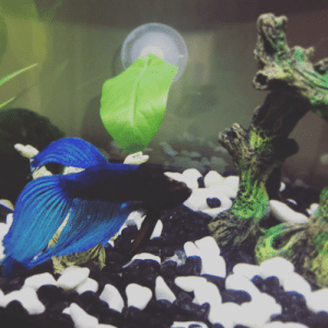 This is Butlet, or Bubby for short; he's my little grumpy baby. He's still exploring his new tank (still WIP) but his favorite so far is the water filter! He will be very grumpy if you don't give him treats every time you come to the tank.: This is Butlet, or Bubby for short; he's my little grumpy baby. He's still exploring his new tank (still WIP) but his favorite so far is the water filter! He will be very grumpy if you don't give him treats every time you come to the tank.
