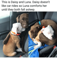 Fall, Memes, and 🤖: This is Daisy and Luna. Daisy doesn't  like car rides so Luna comforts her  until they both fall asleep. Hecking heartwarming.