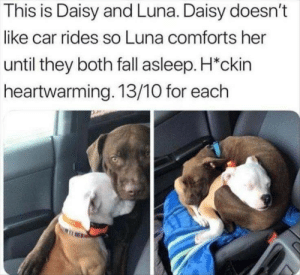 daisy: This is Daisy and Luna. Daisy doesn't  like car rides so Luna comforts her  until they both fall asleep. H*ckin  heartwarming. 13/10 for each