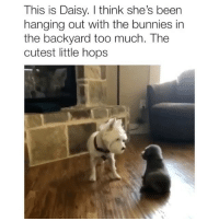 Bunnies, Memes, and Too Much: This is Daisy. I think she's been  hanging out with the bunnies in  the backyard too much. The  cutest little hops When the dog knocked her over 😂 Credit: @laurenfox15