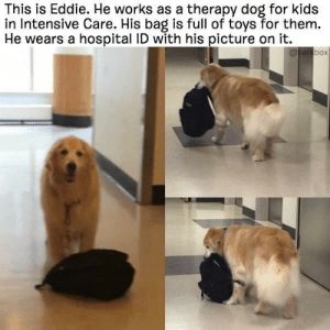 awesomacious:  Wholesome Eddie ♥️: This is Eddie. He works as a therapy dog for kids  in Intensive Care. His bag is full of toys for them.  He wears a hospital ID with his picture on it.  box awesomacious:  Wholesome Eddie ♥️