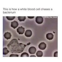 White, Girl Memes, and How: This is how a white blood cell chases a  bacterium  @hits_the blunt I wish I watched this in human anatomy @hits_the_blunt