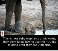 Elephant: This is how baby elephants drink water,  they don't know how to use their trunks  to drink until they are 9 months.