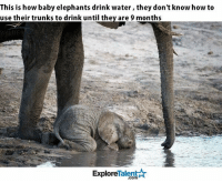 Well this is the cutest thing Ive ever seen 🤗❤️  Wow Amazing Animals: This is how baby elephants drink water, they don't know how to  use their trunks to drink until they are 9 months  Talent  Ar  Explore Well this is the cutest thing Ive ever seen 🤗❤️  Wow Amazing Animals