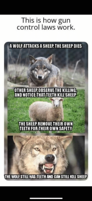gun-control-laws: This is how gun  control laws work.  A WOLFATTACKS A SHEEP.THE SHEEP DIES  OTHER SHEEPOBSERVE THE KILLING  AND NOTICE THAT TEETH KILL'SHEEP  THE SHEEP REMOVE THEIR OWN  TEETH FORTHEIR OWN SAFETY  HE WOLFSTILL HAS TEETH AND CAN STILL KILL SHEEP