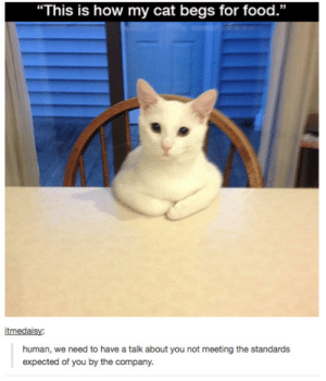 """Food, Memes, and How: """"This is how my cat begs for food.""""  itmedaisy:  human, we need to have a talk about you not meeting the standards  expected of you by the company. Stolen memes dump number 18"""