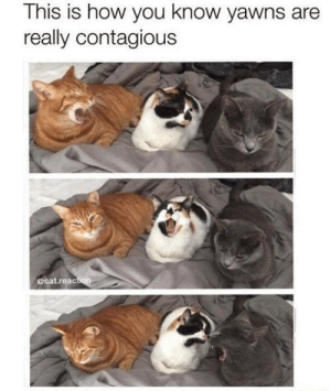 Memes, Contagious, and 🤖: This is how you know yawns are  really contagious  @cat.reac