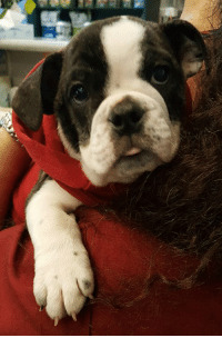 This is Izzy, an 11 week old English Bulldog puppy that came to visit us last week.  So scrumptious!: This is Izzy, an 11 week old English Bulldog puppy that came to visit us last week.  So scrumptious!