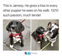 tenderize: This is Jamesy. He gives a kiss to every  other pupper he sees on his walk. 13/10  such passion, much tender  Gtf Postize