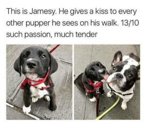 Kiss, Passion, and Tender: This is Jamesy. He gives a kiss to every  other pupper he sees on his walk. 13/10  such passion, much tender