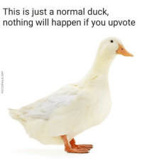 Tumblr, Blog, and Duck: This is just a normal duck,  nothing will happen if you upvote  0  0 memehumor:  Absolutely nothing