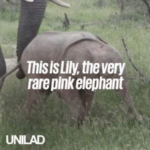 Dank, Elephant, and Pink: This is Lily, the very  rare pinkelephant  UNILAD Meet Lily, the incredibly rare PINK elephant... 😍🐘