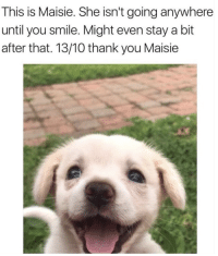 Thank You, Smile, and She: This is Maisie. She isn't going anywhere  until you smile. Might even stay a bit  after that. 13/10 thank you Maisie