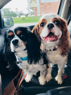 Puppies, Old, and King: This is Max and Margot, the five-year-old King Charles cavalier spaniel puppies!