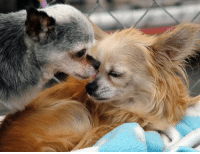 Animals, Anime, and Beautiful: This is Michele, Teddy's mom.  Thank you all so much for your outpouring of comfort to my boy.  It has meant the world to us.  I wanted to take a few minutes to share some insight into the special relationship between these two precious souls.  Teddy and Gwinnie weren't just kennel mates and friends.  They were truly bonded.  They survived in the same puppy mill together where they lived for 7 years, they were rescued together, they were inseparable at National Mill Dog Rescue, and then we adopted them together.  They lived in my loving home for 4 years where we witnessed their truly amazing bond.  They were together for 11 years.  It's hard for some people to understand that animals can bond and feel this deeply about each other.  Some have suggested we get Teddy another friend.  He has 5 siblings - 4 sisters and a brother.  They all get along great and are friends.  But, there really is a huge difference between a sibling or friend and your one true life soulmate, which is what Gwinnie was to Teddy.  In addition to constantly snuggling together, these two relied on each other, comforted each other, and loved each other deeply, giving each other kisses when one had been away and returned.  Teddy protected her.  They were like an old married couple, always spooning together, occasionally grumbling at each other, but always walking hand in hand and giving each other kisses.  When we were informed that Gwinnie had passed away, I couldn't bear the thought of Teddy wondering where she was or why she never returned after she left with me that morning, so that afternoon I took him to the vet to say goodbye to her.  I wanted him to have closure.  He knows and I hope he understands.  It doesn't make it any easier and he still grieves.  It's in everything he does, where he sleeps, his energy level, and his lack of appetite.    We are working to help him move forward and he is never happier than when he's with me, working a puppy mill awareness 