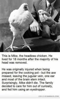 Memes, 🤖, and Html: This is Mike, the headless chicken. He  lived for 18 months after the majority of his  head was removed  He was originally injured when being  prepared for the cooking pot but the axe  missed, leaving the jugular vein, one ear  and most of the brain stem intact.  Surprisingly, Mike didn't die. The family  decided to care for him out of curiosity,  and fed him using an eyedropper.  JOIN US DAMNLOLCOM This Is The Mike, The (Nearly) Headless Chicken http://www.damnlol.com/this-is-the-mike-the-nearly-headless-chicken-31976.html?ref=fbp