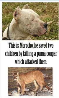 The Hero: This is Morodho he saved two  children by killing a puma cougar  which attacked them. The Hero