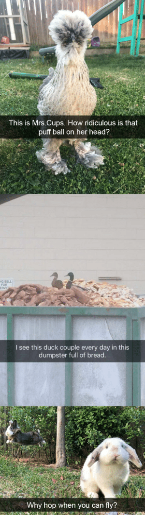 animalsnaps:Animal snaps: This is Mrs.Cups. How ridiculous is that  puff ball on her head?   G BELL  FOR  ERVIC  I see this duck couple every day in this  dumpster full of bread.   Why hop when you can fly? animalsnaps:Animal snaps
