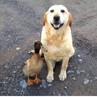 this is my buddy dirk. dirk the duck. don't worry he's cool: this is my buddy dirk. dirk the duck. don't worry he's cool