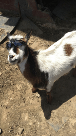 Felix the Boat Baby Cow Boat Cow Is the Goat | GOAT Meme on ME ME