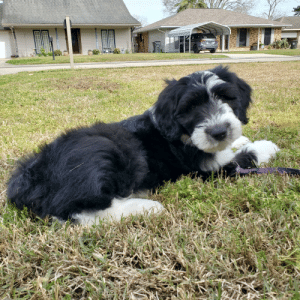 This is Nola. She's just learning what the neighborhood sounds like. (9wks sheepadoodle): This is Nola. She's just learning what the neighborhood sounds like. (9wks sheepadoodle)