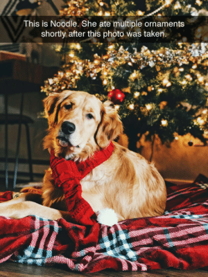 """tastefullyoffensive:  """"Noodle is just fine. She has a stomach of steel."""" -brookiePtho: This is Noodle. She ate multiple ornaments  shortly after this photo was taken. tastefullyoffensive:  """"Noodle is just fine. She has a stomach of steel."""" -brookiePtho"""
