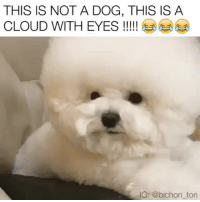 TOO! MUCH! CUTENESS!!! 🎥: @bichon_tori dogsofinstagram dogs bichonsofinstagram bichon: THIS IS NOT A DOG, THIS IS A  G: @bichon_tori TOO! MUCH! CUTENESS!!! 🎥: @bichon_tori dogsofinstagram dogs bichonsofinstagram bichon