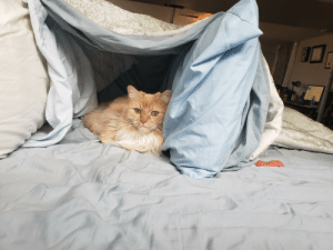 This is Nugget. For 10 years whenever he gets anxious he sits in bed and cries, pawing at blankets until I make a fort for him to crawl into, and suddenly everything is right in his little world <3: This is Nugget. For 10 years whenever he gets anxious he sits in bed and cries, pawing at blankets until I make a fort for him to crawl into, and suddenly everything is right in his little world <3