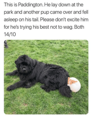 Best, Excite, and Wholesome: This is Paddington. He lay down at the  park and another pup came over and fell  asleep on his tail. Please don't excite him  for he's trying his best not to wag. Both  14/10 This is soo wholesome it's insane