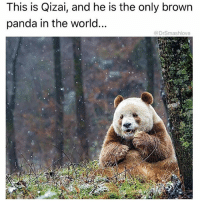 Bless Up, Drugs, and Memes: This is Qizai, and he is the only brown  panda in the world..  @DrSmashlove LOLLAPALOOZA IS UPON US AND EARLY-ARRIVER CONCERT-GOERS HAVE BEGUN DESCENDING UPON MY CITY. PEOPLE'S CHIRREN WHO BARELY HIT PUBERTY ARE ABOUT TO DO BRAIN-MELTING DRUGS FOR FOUR DAYS SKRATE AND THEN ROAM THE SKREETS LIKE WALKING DEAD ZOMBIES THAT AIN STARTED ROTTING YET, AFTER WHICH THEY WILL BE UNABLE TO PURSUE GAINFUL EMPLOYMENT OTHER THAN BEING A SOUNDCLOUD MUMBLE RAPPER, AND FOR THIS HONOR THEIR PARENTS WILL SHELL OUT OVER $300 FOR A FOUR DAY PASS AND UNTOLD TENS OF THOUSANDS OF DOLLARS ON PSYCHIATRIC TREATMENT AFTER THE FESTIVAL 😁. I WILL BE MONITORING THE SITUATION CLOSELY FROM THE COOL, AIR CONDITIONED TRAPPINGS OF MY OFFICE IN A HIGH RISE BUILDING PARTIALLY OVERLOOKING MILLENIUM PARK, AND THEN I'LL BE CRACKING MY KNUCKLES AND WRITING ABOUT IT 😎. WHO WANNA FUCK AROUND AND END UP IN A CAPTION BLESS UP 😍😍😍😂😂😂