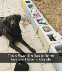 Say hello to my new personal assistant | @cuteandfuzzybunch 🐶: This is Rizzo. She likes to file her  toys now. I have no idea why Say hello to my new personal assistant | @cuteandfuzzybunch 🐶