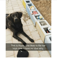 @hilarious.ted posts the cutest memes!! Swipe for more 👉🏻👉🏻: This is Rizzo. She likes to file her  toys now. I have no idea why @hilarious.ted posts the cutest memes!! Swipe for more 👉🏻👉🏻