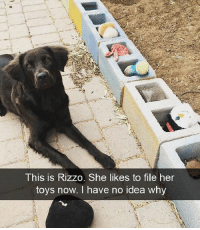 Teach me your ways, doggie: This is Rizzo. She likes to file her  toys  now, I have no idea whv Teach me your ways, doggie
