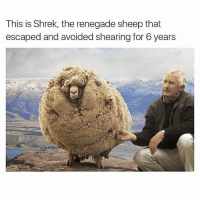 This is Shrek, the renegade sheep that  escaped and avoided shearing for 6 years Shrek the sheep. -⚽️