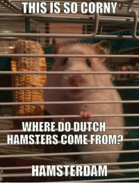 hamster dance: THIS IS SO CORNY  WHERE DO DUTCH  HAMSTERS COME FROM?  HAMSTERDAM