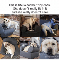 Dogs, Love, and Memes: This is Stella and her tiny chair.  She doesn't really fit in it  and she really doesn't care.  @dognamedstella  @bark Is this a haiku? Either way it's poetry and amazing and i love this dog and all dogs. Via @bark Pup @dognamedstella