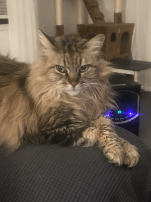 This is Stella and she is our duchess Kitty. She always lays with her paws crossed prim and proper.: This is Stella and she is our duchess Kitty. She always lays with her paws crossed prim and proper.