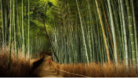 Memes, Flowers, and Japan: This is the Arashiyama Bamboo Grove in Kyoto, Japan. If you're in the area, take a stroll down the breathtaking path, beset on both sides by staggeringly tall stalks of bamboo. But don't expect to see too many flowers — it can take bamboo 120 years to ever sprout a bud. 120-year walk through this? Don't mind if I do!