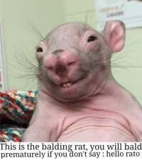 rat: This is the balding rat, you will bald  prematurely if you don't Say hello rato