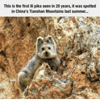 Summer, Fluffy, and First: This is the first lli pika seen in 20 years, it was spotted  in China's Tianshan Mountains last summer... <p>That Is A Fluffy Little Bugger.</p>
