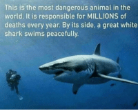 Memes, Shark, and Sharks: This is the most dangerous animal in the  world. It is responsible for MILLIONS of  deaths every year. By its side, a great white  shark swims peacefully. So true