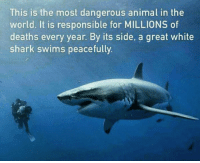 Memes, Shark, and Sharks: This is the most dangerous animal in the  world. It is responsible for MILLIONS of  deaths every year. By its side, a great white  shark swims peacefully. http://t.co/zXmZbuFdjB