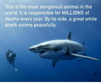 Shark, Animal, and White: This is the most dangerous animal in the  world. It is responsible for MILLIONS of  deaths every year. By its side, a great white  shark swims peacefully https://t.co/JvFXeXPmXC